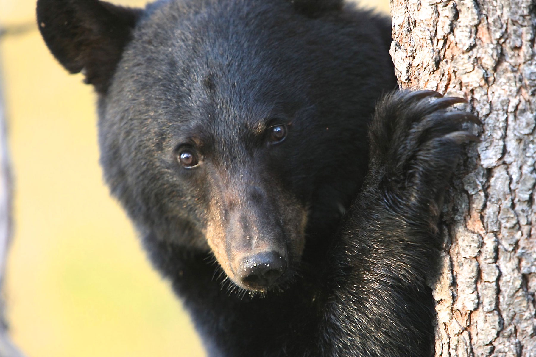 Nationally Recognized Wildlife Biologist to Present Talk on Black Bears Wednesday, Oct 26 in Chester