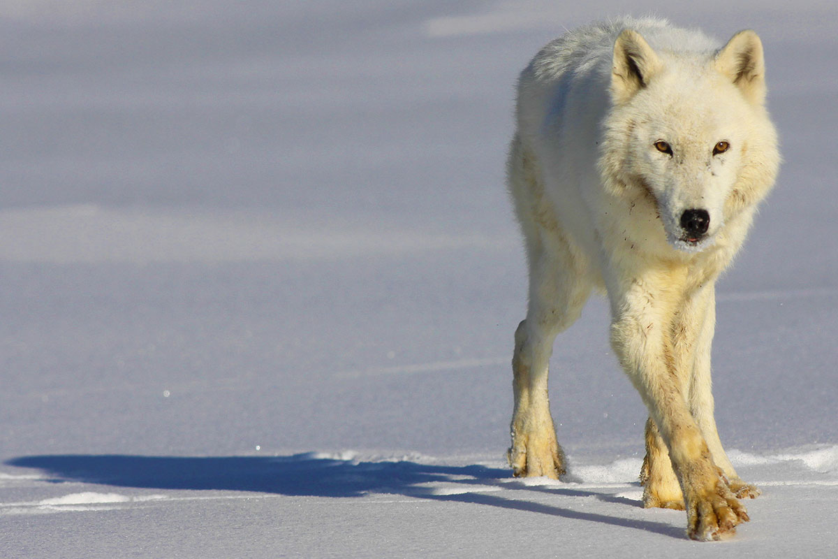 What Will Global Climate Change Mean for Animals of the North?
