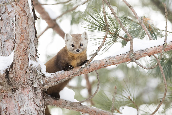 American Martens and Winter Animal Tracking: Join Vermont Wildlife Biologist Chris Bernier for Two Unique Wildlife Programs with The Nature Museum