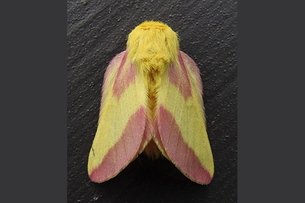 Our Nighttime Jewels: Discover The Moths of Vermont With JoAnne Russo and The Nature Museum