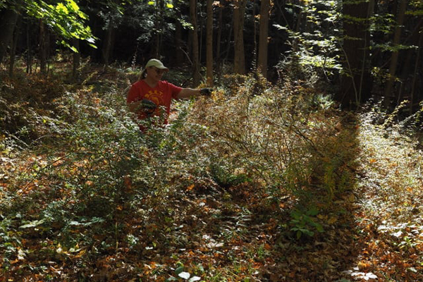 Black River Action Team Invasive Plant Management Day Targets Japanese Barberry Plants